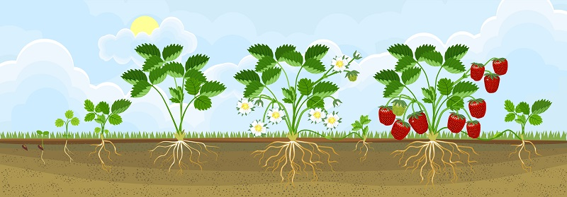 Nach der alten Gärtnerregel werden Erdbeeren alle zwei Jahre neu gepflanzt. ( Foto: Shutterstock-Kazakova Maryia)